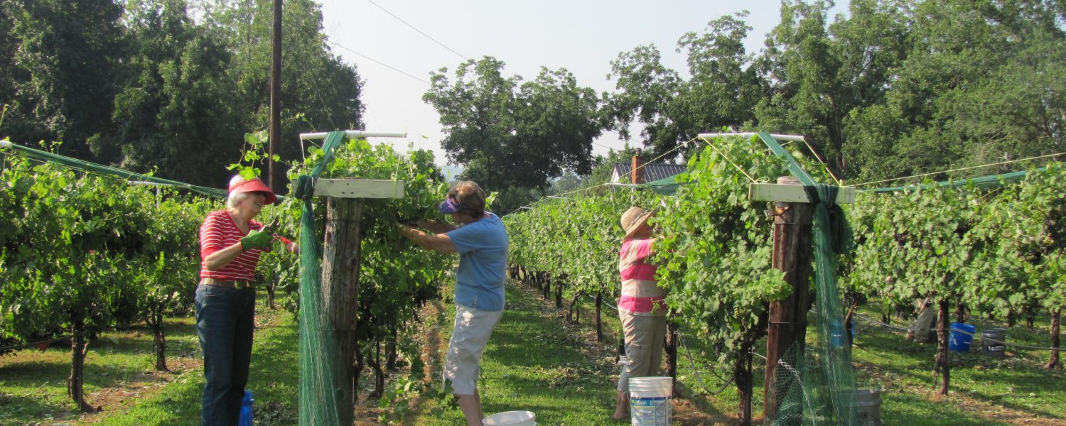 Friends, family bring in harvest at vineyard